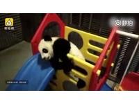 貓熊寶寶照鏡「被自己帥暈」 滾落玩具架...躲角落冷靜下