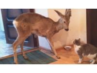 野鹿闖入大門直攻貓咪飯碗 喵星人整個大傻眼…