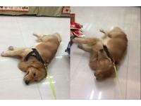 黃金獵犬幫超商「擦地」 她拉33KG「拖把」:快回家!