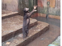 動物園馬來熊骨頭根根可見...站起「伸手」乞討零食!