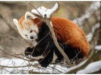 小貓熊雪中「空靈大眼」霸氣外漏 完勝慵懶老虎和萌豹
