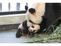 上海動物園貓熊幗幗驟逝 175天大女兒「花生」隔5天亡