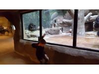 5歲男童尬舞單挑小猩猩 靠地板動作「無敵風火輪」完勝