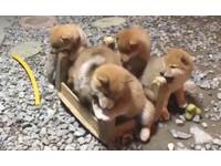 Pro級破壞隊!5赤柴寶寶分工狂啃 椅腳從正方型削成圓形