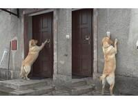 下雪被鎖門外!拉布拉多想進屋取暖 用這招逼主人開門