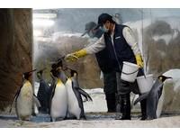 國王企鵝放飯囉!吃魚「學會算數」 每餐2條多餵拒吃