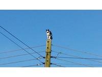 黑白胖貓Betty卡9米高電線桿一天 整條街斷電救下來
