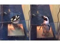 企鵝排隊量體重 自己跳上去疑惑轉頭:我有變胖嗎?