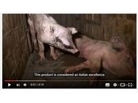 地獄養殖場豬吃豬倒在屎堆 義大利帕爾瑪火腿血腥真相