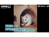 最萌貓皇白吉兼職財務長 神速撥算盤做「年度總結算」