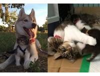 「哈士奇帶大的貓」收留9隻小喵喵 把狗保母的愛傳下去
