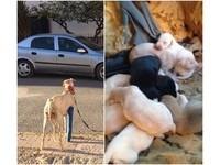 包石膏走3.8公里! 狗媽媽一拐拐堅持帶路救10隻寶寶