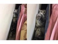 陌生人來了!害羞貓貓急避難 「4隻擠一起」躲床縫裡