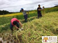 五百万石割稻體驗!探索日本170年酒造的秘密