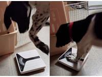 誰變胖!狗狗踏上體重計秒翻臉 跳高重踩:這台壞了啦
