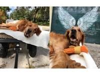 癌末癱瘓!黃金獵犬馬瑞克當小天使了 笑容傳療癒能量