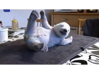 小北極熊賣萌 舉手投足超可愛