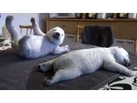 克努特第二 可愛的仔仔北極熊網路爆紅!
