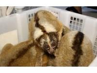 拔牙關禁閉 走私懶猴80%死在交易過程..終生無法回野外