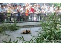 貓熊地獄!上海動物園「22年養死6隻」 坦承獸醫經驗不足