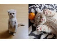 迷倒眾人的站姿!貓界站得最標準的摺耳貓Mangtae