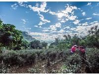 國姓喝咖啡、鹿谷採茶 過年2日遊到南投慢活深呼吸