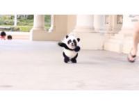 「迷你貓熊」飛奔來露齒大笑超療癒!原來是吉娃娃假扮的