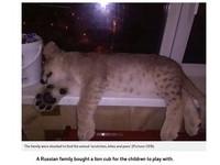 戰鬥民族買獅子陪小孩玩 嫌照顧麻煩…竟PO網棄養