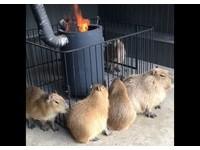 超療癒!水豚家族「圍爐」取暖 越擠越多隻...網友笑翻