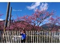 平菁街42巷櫻花盛開 粉色「小雲朵」點綴藍天白雲