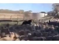 牧羊犬「踩羊背」狂飆進欄舍 網驚:輕功羊上飄?