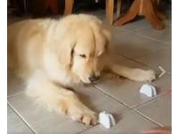 猜猜哪邊有餅乾? 睡眼狗狗靠「雷達鼻」百發百中