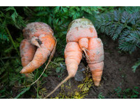 兩腿間夾著一根... 老農種出羞羞的「露鳥男娃娃」蘿蔔