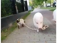 豬奴才牽繩遛主子逛大街 布偶貓:你走太慢了啦