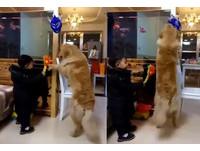 拿不到的讓哥來!黃金獵犬帥氣撥開小主人 站起來幫取面具