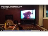 狼犬緊盯電視警戒!螢幕內小臘腸一衝...牠反應讓人笑翻