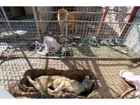 暴瘦獅籠中困惑看死去同伴 摩蘇爾動物園死到剩1獅1熊