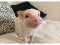 IG新星!「粉紅豬」Hank一直微笑 萌表情吸粉絲