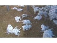 禽流感疫情升溫!防檢局:台南3千隻火雞暴斃確染H5N6