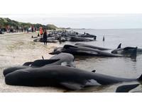黃金灣近700鯨魚擱淺 300頭鯨屍「膨脹成氣球」