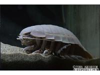 謎樣生物!日水族館「大王具足蟲」絕食滿5年