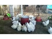 嘉義又爆禽流感...H5N6會人傳人 接觸者均已列管