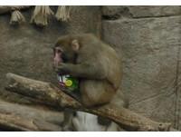 吃貨萌猴緊抱「罐罐」 網友:我懂,花生醬就是人生啊
