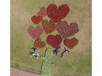 好閃!新北打造3千盆紅白海棠「情人樹」 18日免費拿