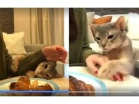 一口就好!萌貓為可頌「激戰奴才左手」 討摸時還耍詐