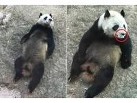 瘦弱貓熊全身髒「口吐白沫」 蘭州動物園:正常現象