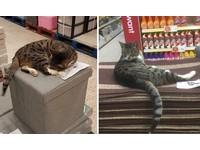 虎斑貓以「賣場」為家 每天在貨架和抱枕間大玩捉迷藏