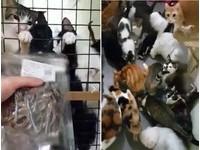 喵屍路步步逼近! 60多隻貓咪看見「小魚乾」抓欄暴動