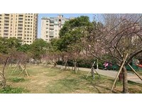 櫻花樹下野餐去!春神捎來粉色訊息 新竹公園櫻花開