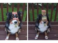 最強耐力!狗狗玩「零食疊疊樂」 堆高如101仍超淡定